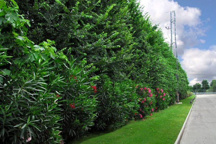 siepe, olenadri giardino