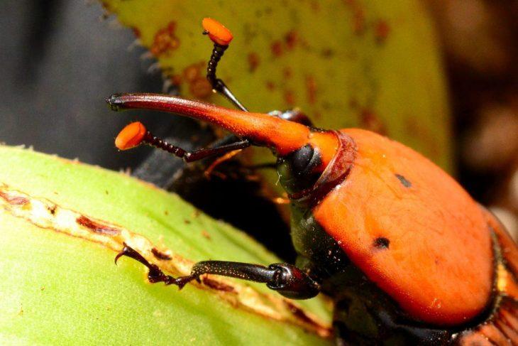 Un esemplare di Punteruolo Rosso